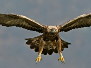 Golden Eagles are reintroduced to Scotland