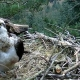 Watch nesting Ospreys at the Tweed Valley Osprey Project in Kailzie near Peebles